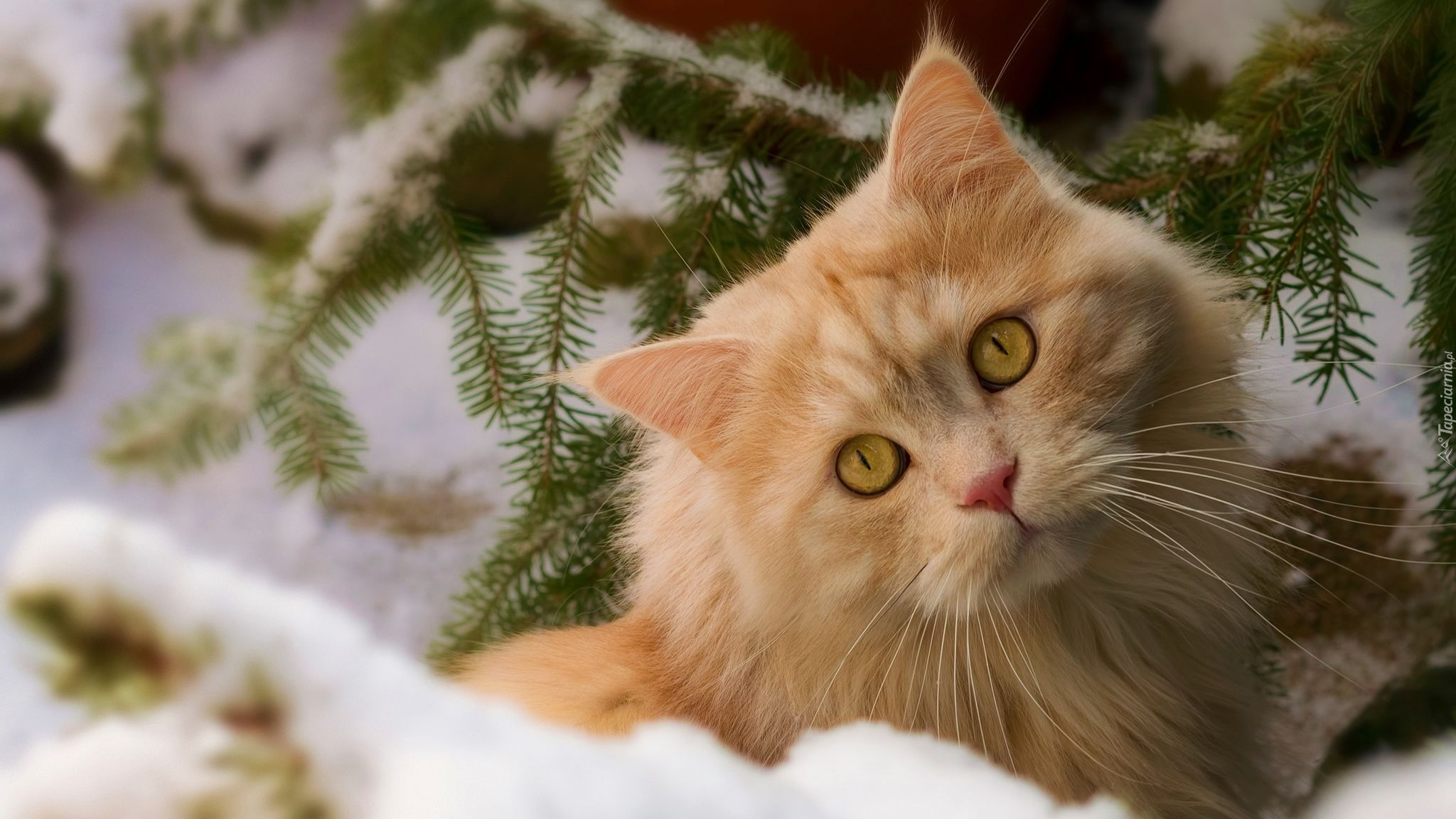Rudy Kot Zima śnieg Gałązka świerku Tapety Zwierzęta