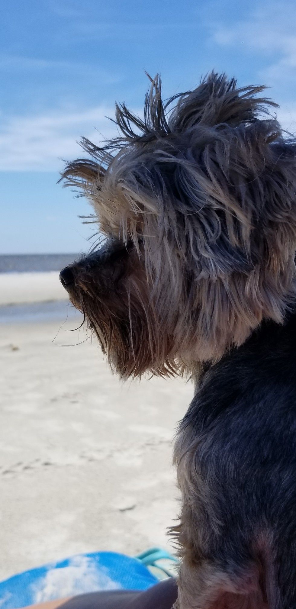 Pin By Francesca Tripoli On Booger Photos With Images Silky Terrier Terrier Yorkie