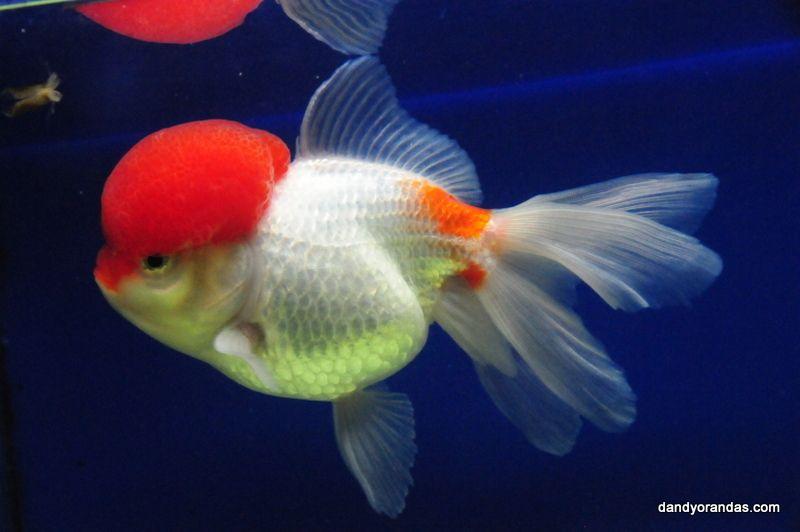 Red White Tancho Oranda Dandyorandas Com Oranda Goldfish Goldfish Aquarium Fish