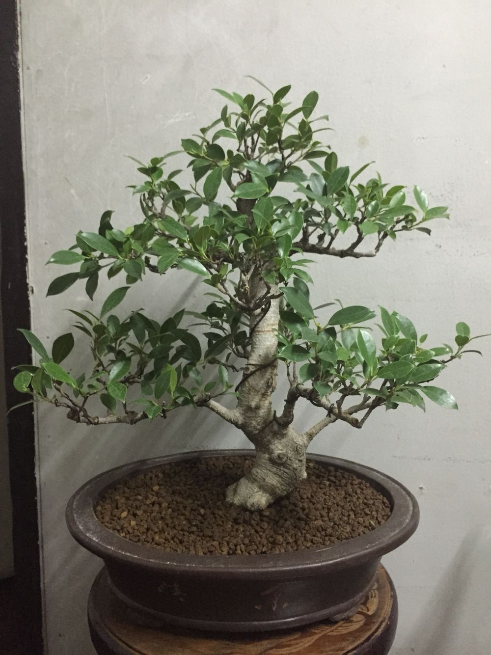 Ficus Retusa Bonsaj