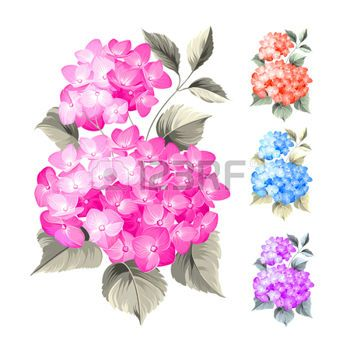Dibujos Flores Purple Hortensias Flores Sobre Fondo Blanco Flor
