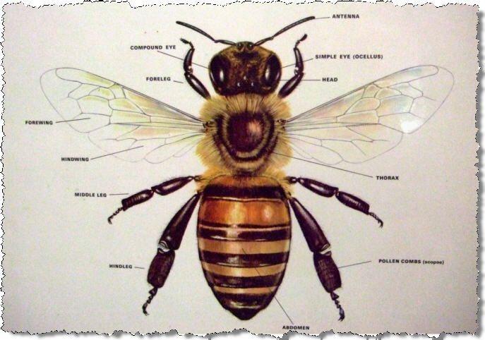 Honey Bee - Parts of Its Body | Abeja y Escarabajo