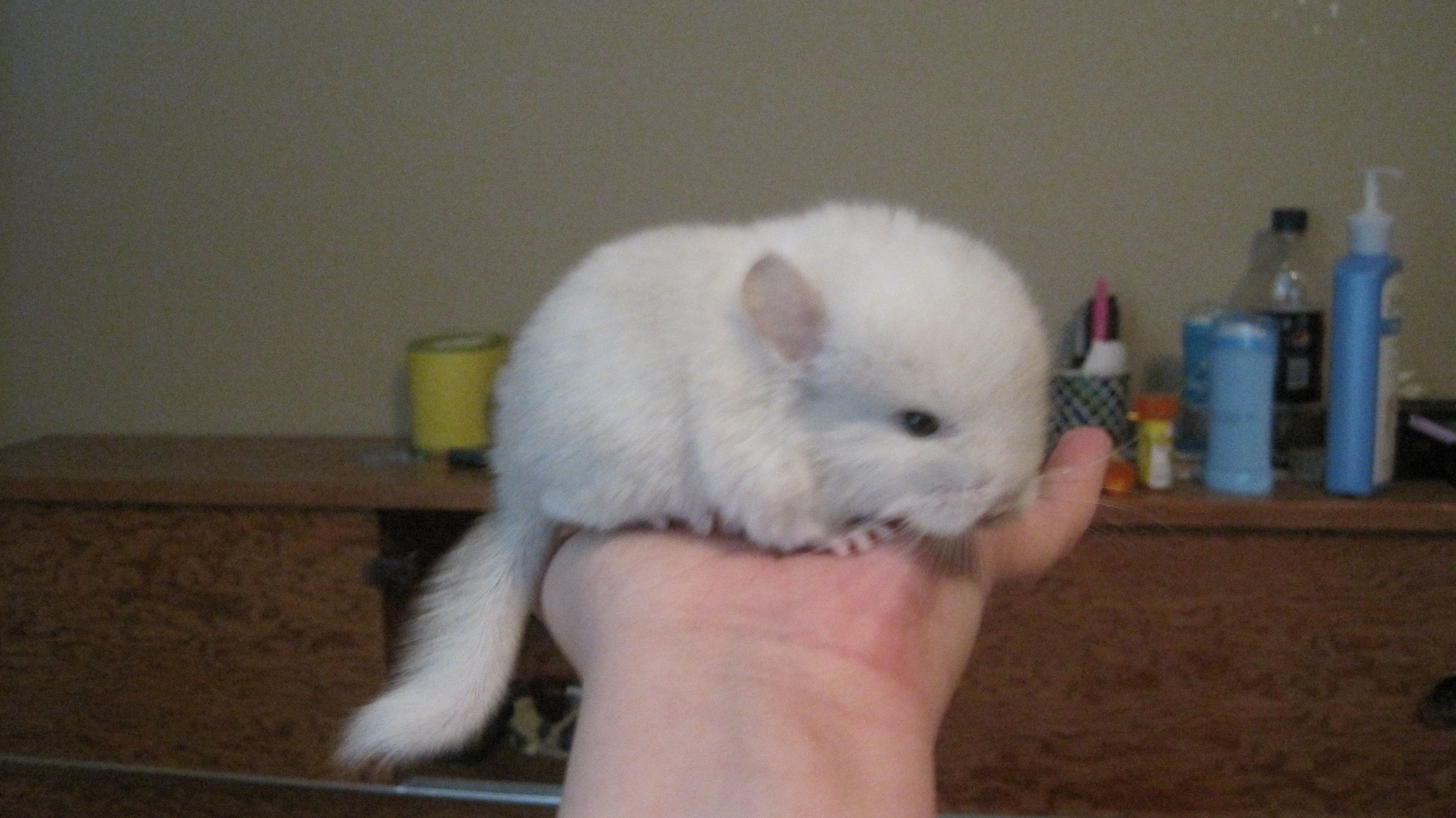 Baby Chinchilla! Favorite Things Pinterest