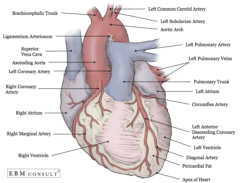 Image result for heart anatomy | Heart Anatomy | Pinterest | Anatomía