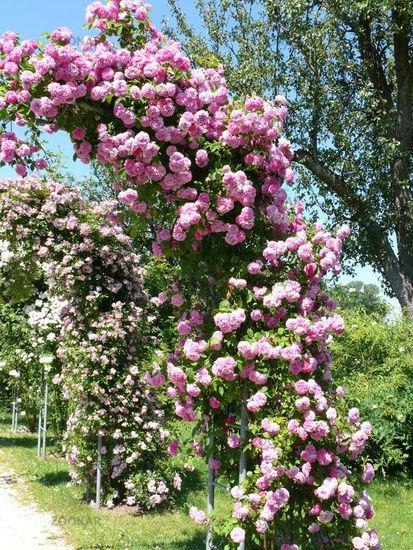 garten kletterpflanzen rosa seven sisters rose. Black Bedroom Furniture Sets. Home Design Ideas