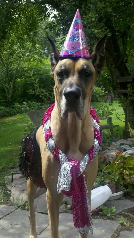 Great Dane All Dressed Up For Her Birthday Party Dog Danes
