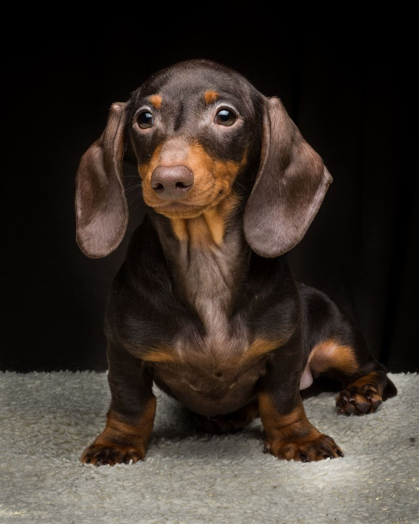 Our Beautiful Black Black Dachshund Puppy Pictures Sausage Dog