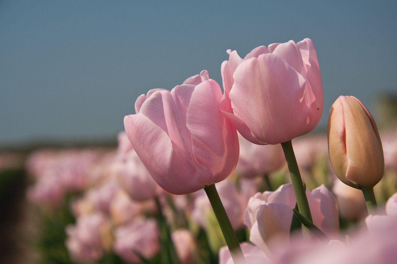 Pin by Shady Grove Gardens on Tulips & spring bulbs April