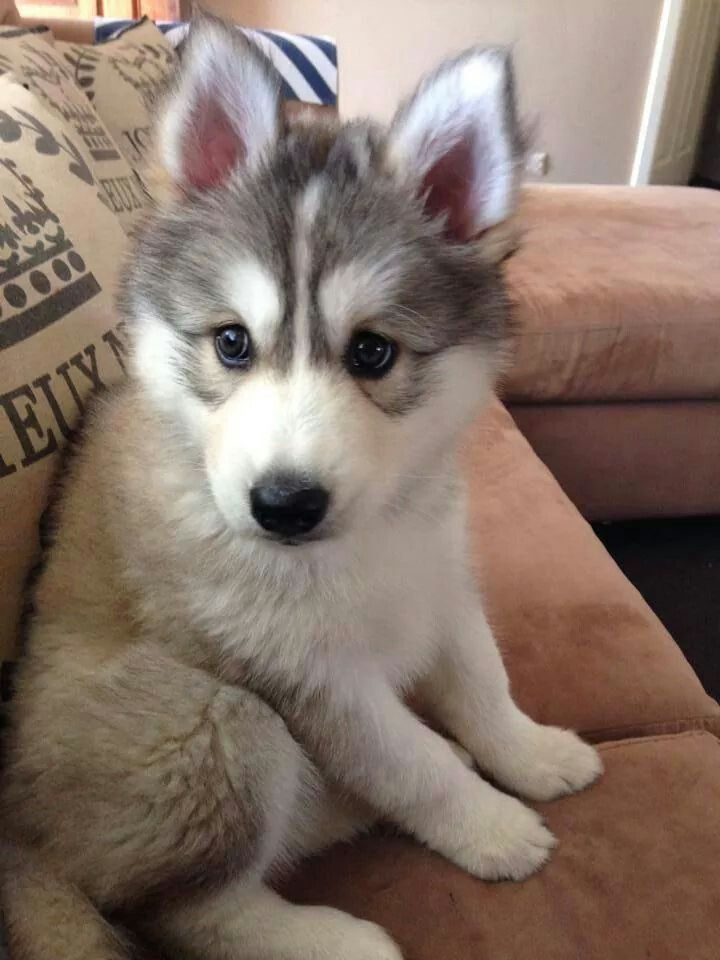 1000+ images about Baby huskys on Pinterest | Huskies ...