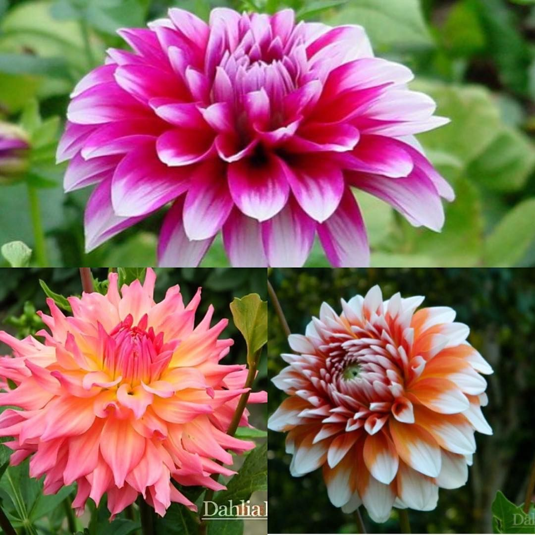 Winners Of The People S Choice Dahlia Show Last Weekend Is 1 Patches 2 Just Peachy And 3 A La Mode Flower Fest And The Dahlia In 2020 Flowers Just Peachy Dahlia