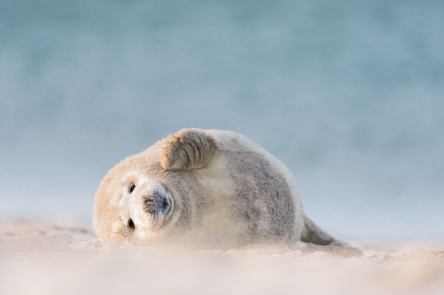young grey Seal by Holger Hübner on 500px