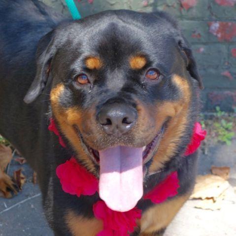 Lola A1082604 Dog Safe Dogs Rottweiler