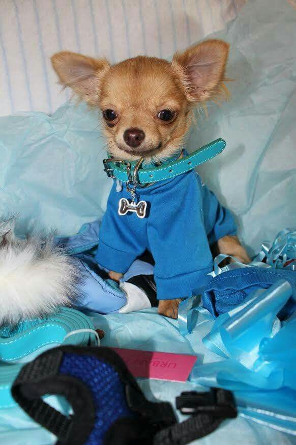 Chihuahua In Blue So Precious With Images Baby Chihuahua