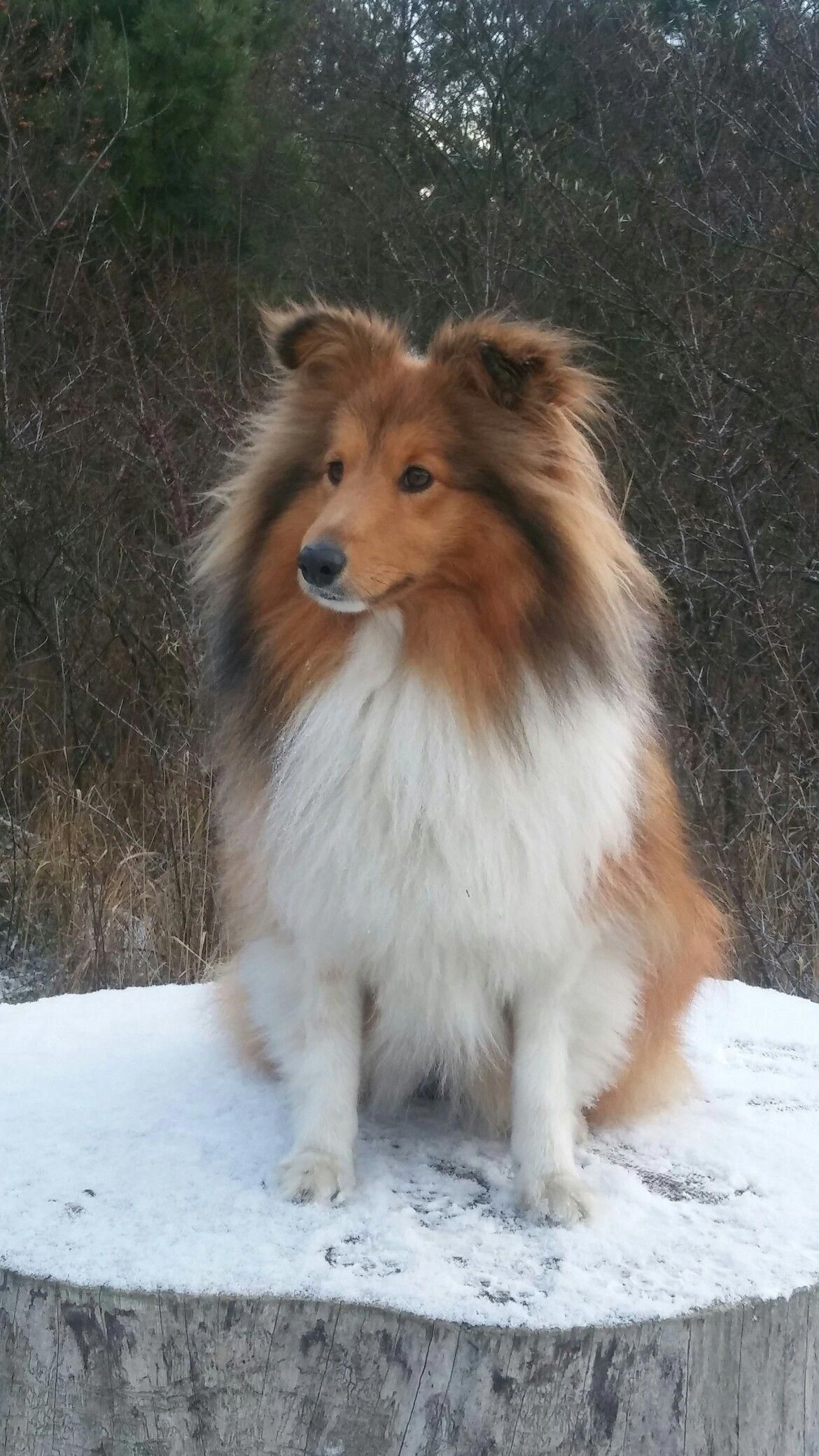 Setland Sheepdog Shetland Sheepdog Shetland Sheepdog Puppies