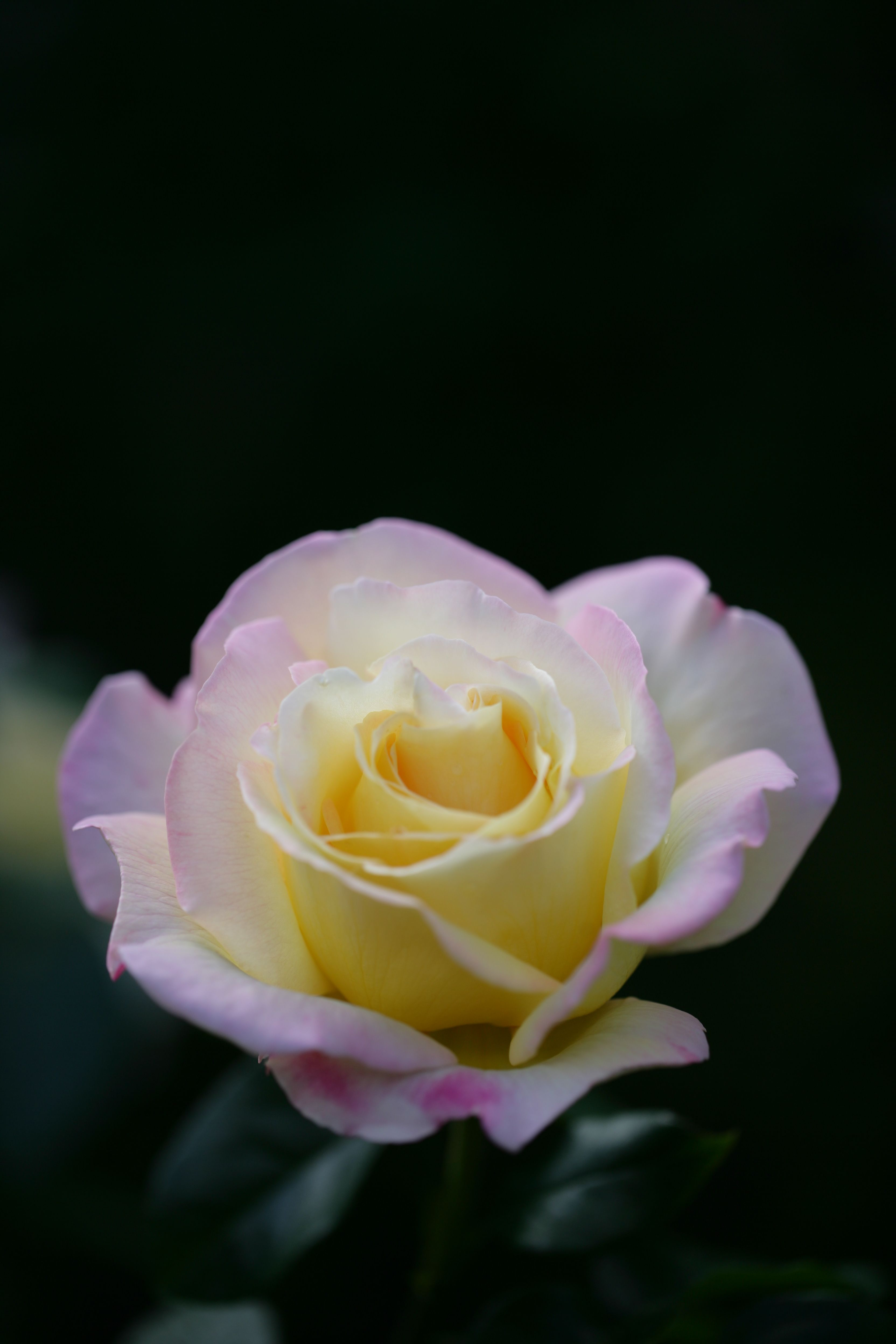 Pin by 📌 ️📌 Teresa Hughes 📌 ️📌 on ROSES II Flowers, Rose