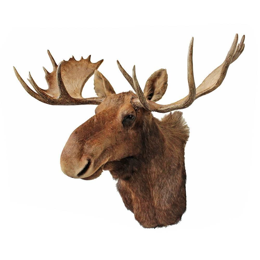 Vintage Taxidermy Moose Mount