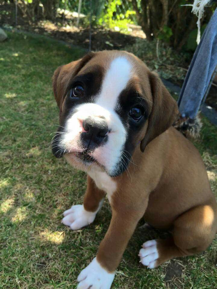 7 week old looking guy Boxer puppies, Boxer dogs, Dogs