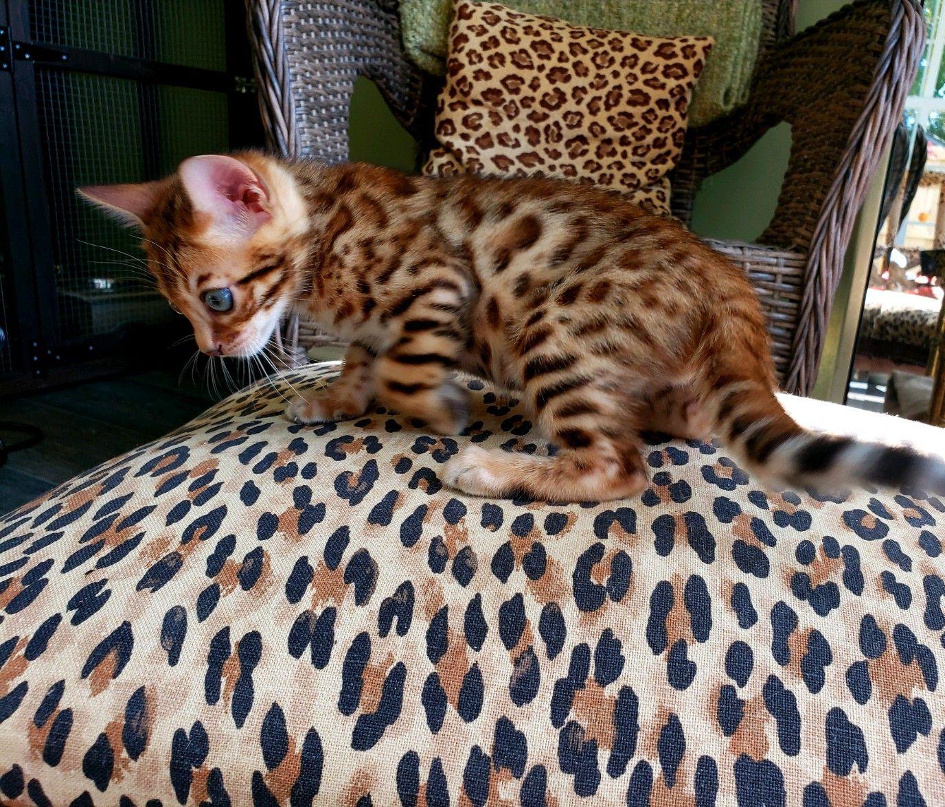 Pin by on Bengal Kittens Bengal kitten