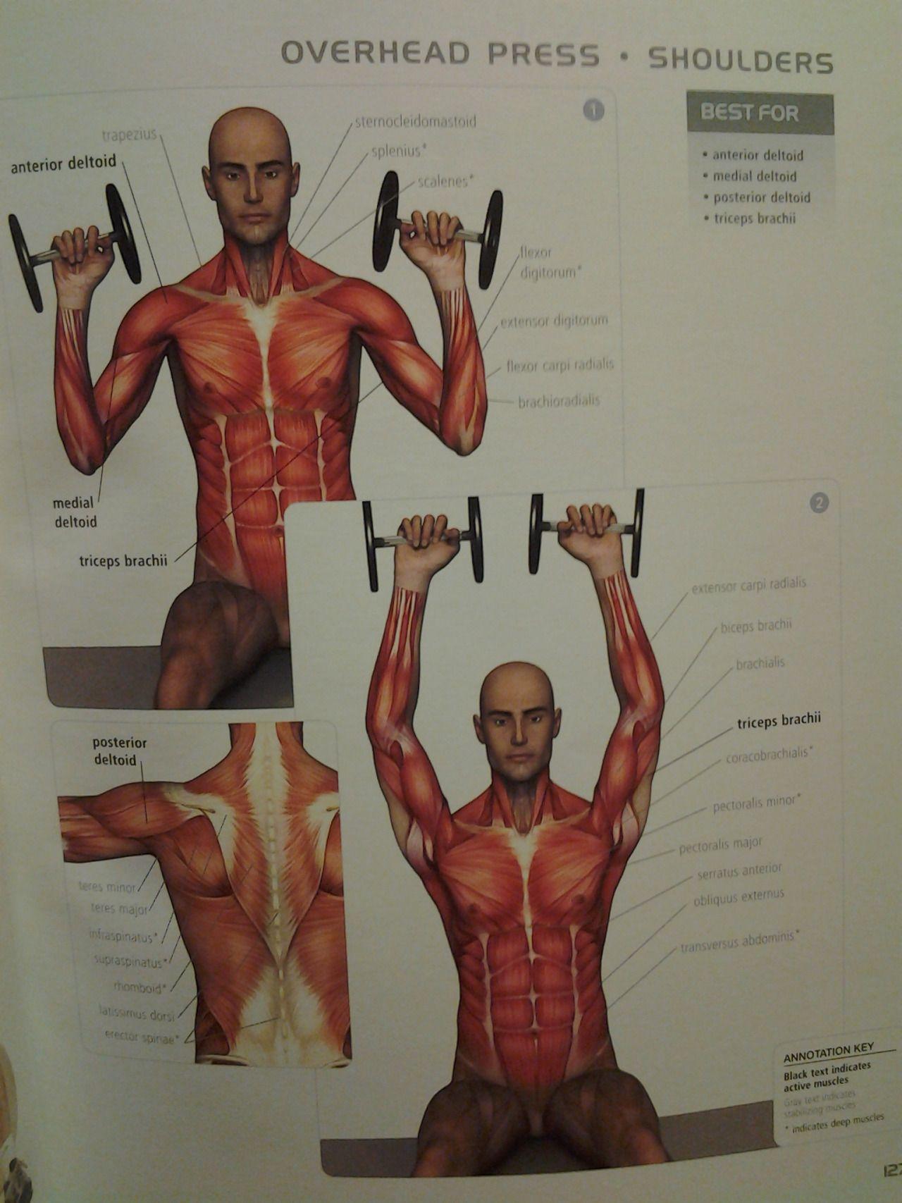 Triceps Brachii Diagram R34 Rb25det Wiring Shoulders Overhead Press Ant Medial Post Deltoid