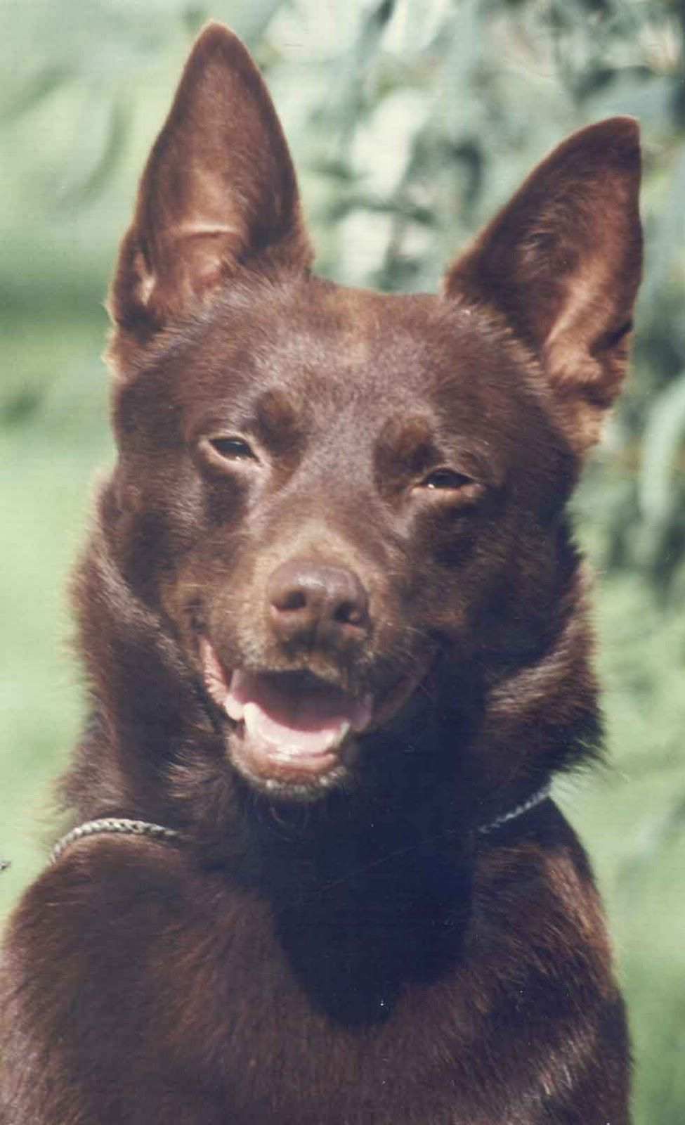 Australian Kelpie I how much I love these dogs