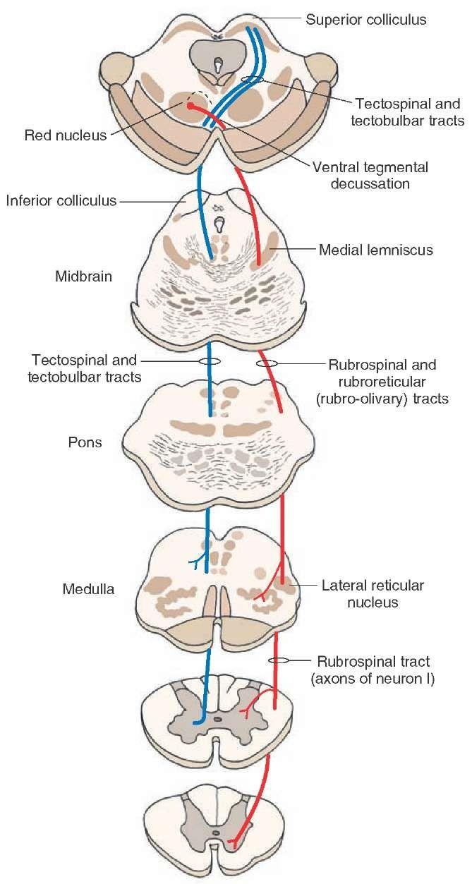 Rubrospinal Tract | Neuroanatomy | Pinterest