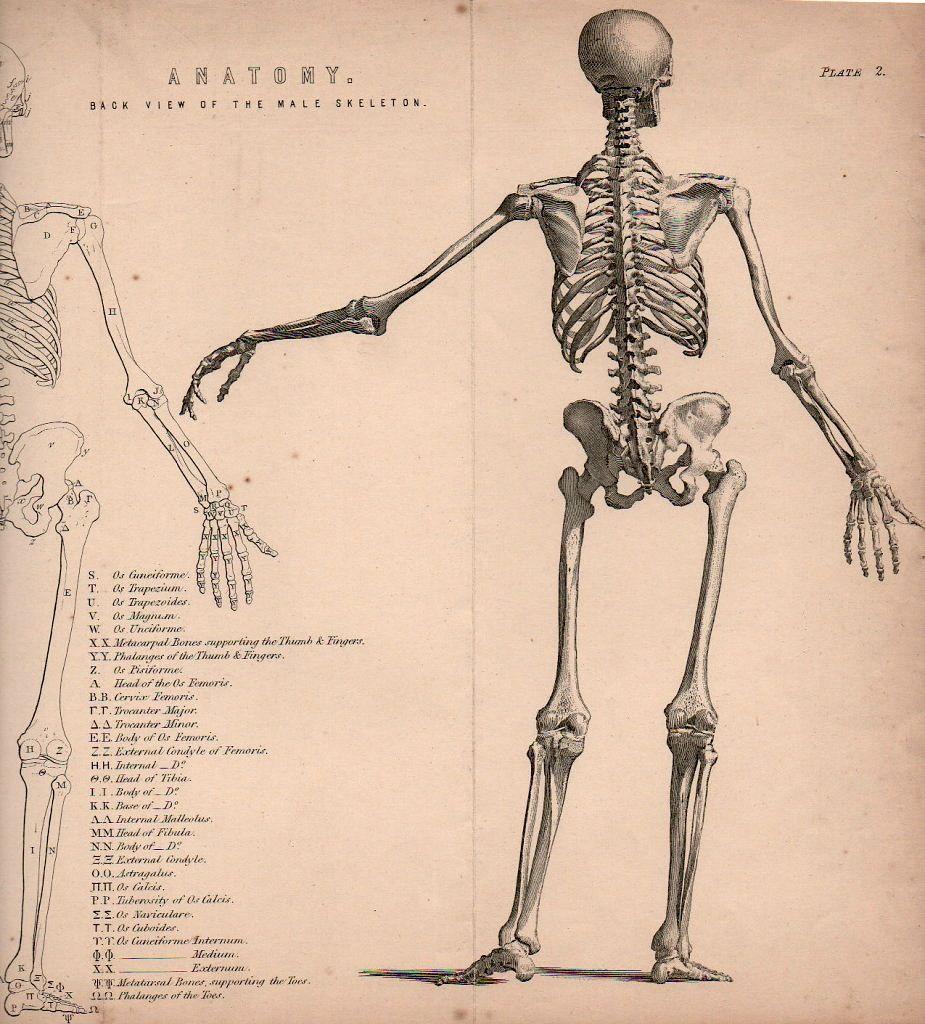 Skeleton The National Encyclopedia William Mackenzie Jpg 925 1024 Human Anatomy Drawing Figure Drawing Drawings