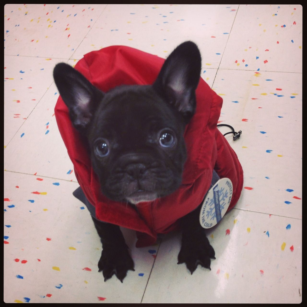 Brady The French Bulldog Puppy Is Trying On Coats For The Cold