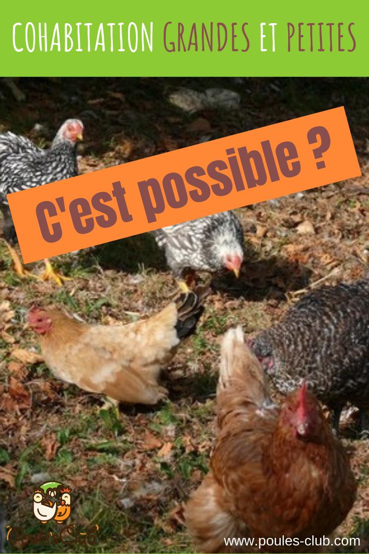 Mettre Des Poules Dans Son Jardin poules naines et grandes poules ensemble : cohabitation