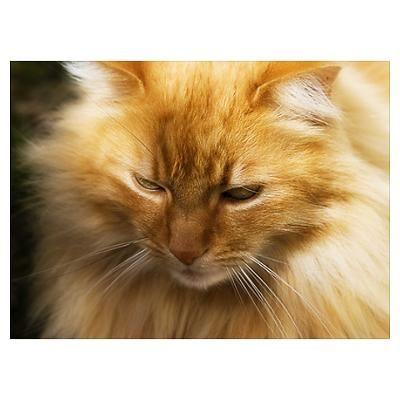 Close Up Of A Golden Orange Norwegian Forest Cat Norwegian Forest Cat Forest Cat Norwegian Forest
