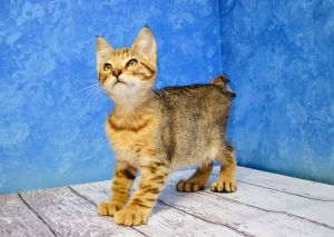 Pin By Laurie Robinson On Love These Things Manx Kittens Polydactyl Cat Cute Cats