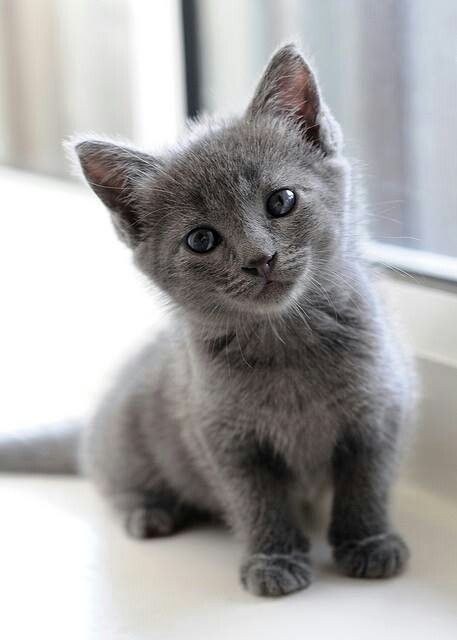 Pin By Danielle Brown On 500 Px ねこwasabi ェ Kittens Cutest Grey Kitten Pretty Cats