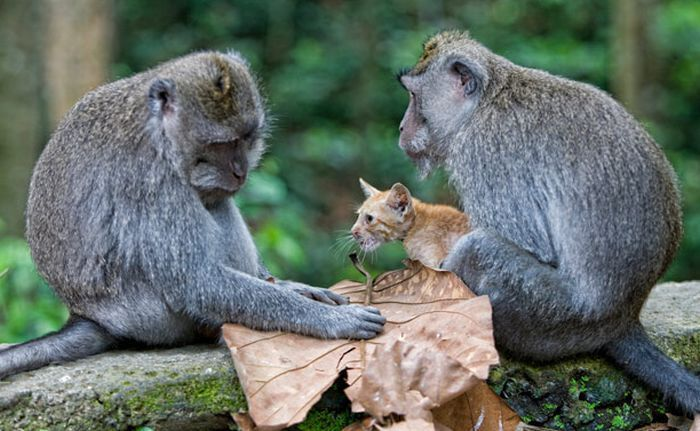 Macaque acquired kitten (6 photos)