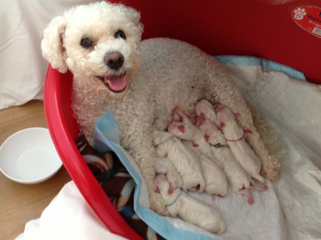 bichon frise puppies bichon frise puppies £ 550 posted 1