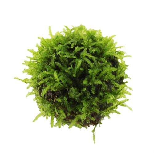Floating Moss Ball [4002] £6.50 Tropical Aquarium