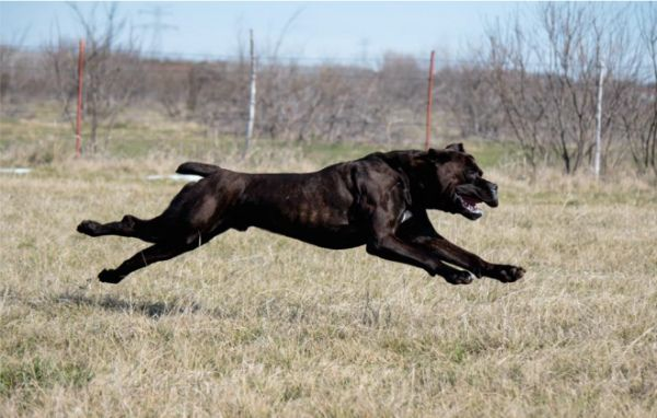 10 Things Only A Cane Corso Owner Would Understand Cane Corso