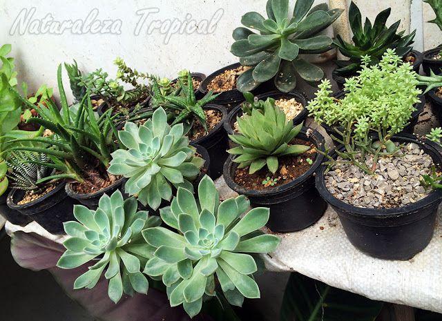 Colecci n de plantas suculentas cultivadas en peque as - Cactus en macetas pequenas ...