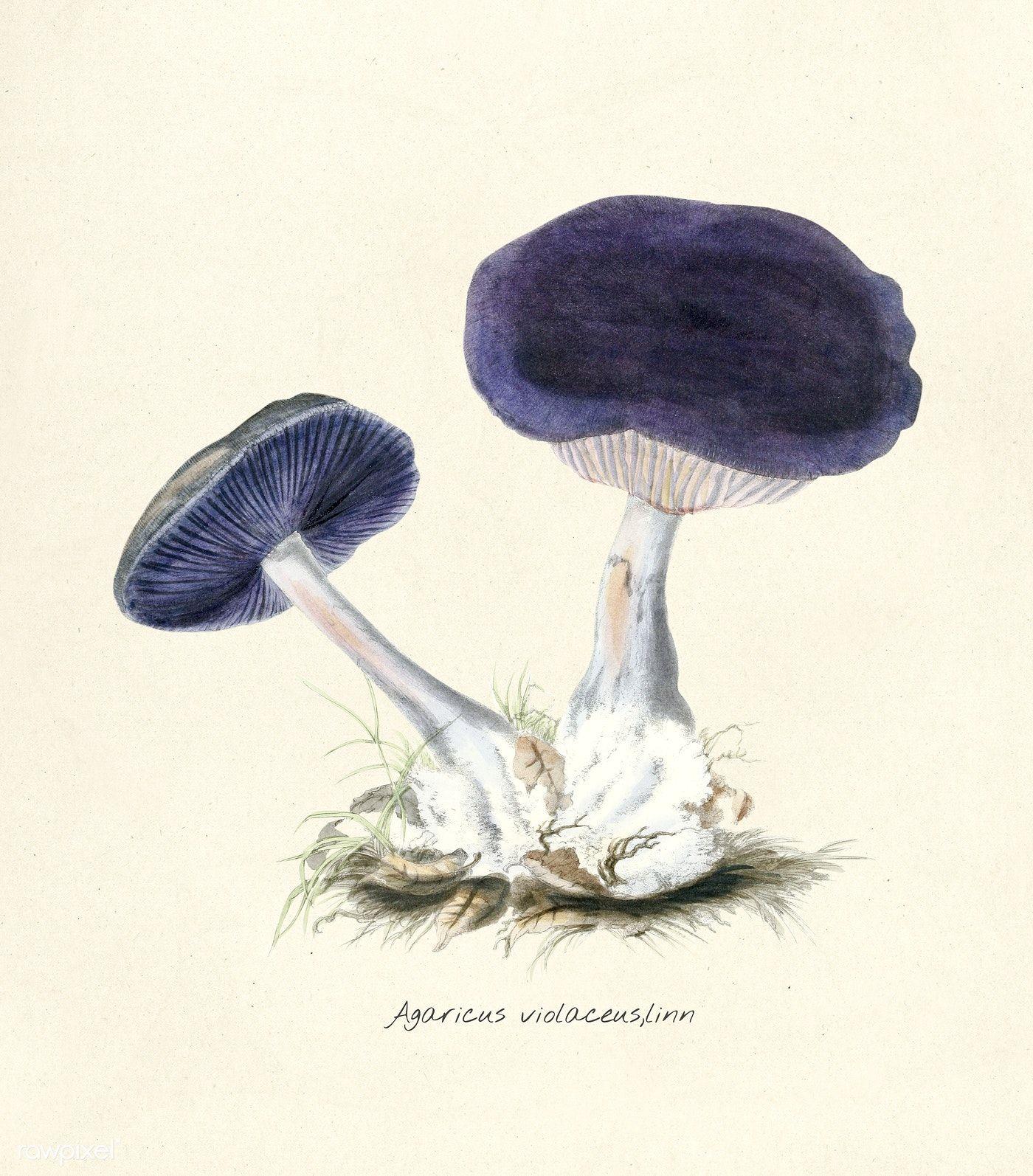 Antique illustration of Agaricus Violaceus, Linn | free ...