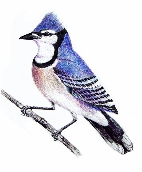 Birding Sketches   Blue Jay Drawing By Terence John Cleary - Blue Jay Fine Art Prints And ...