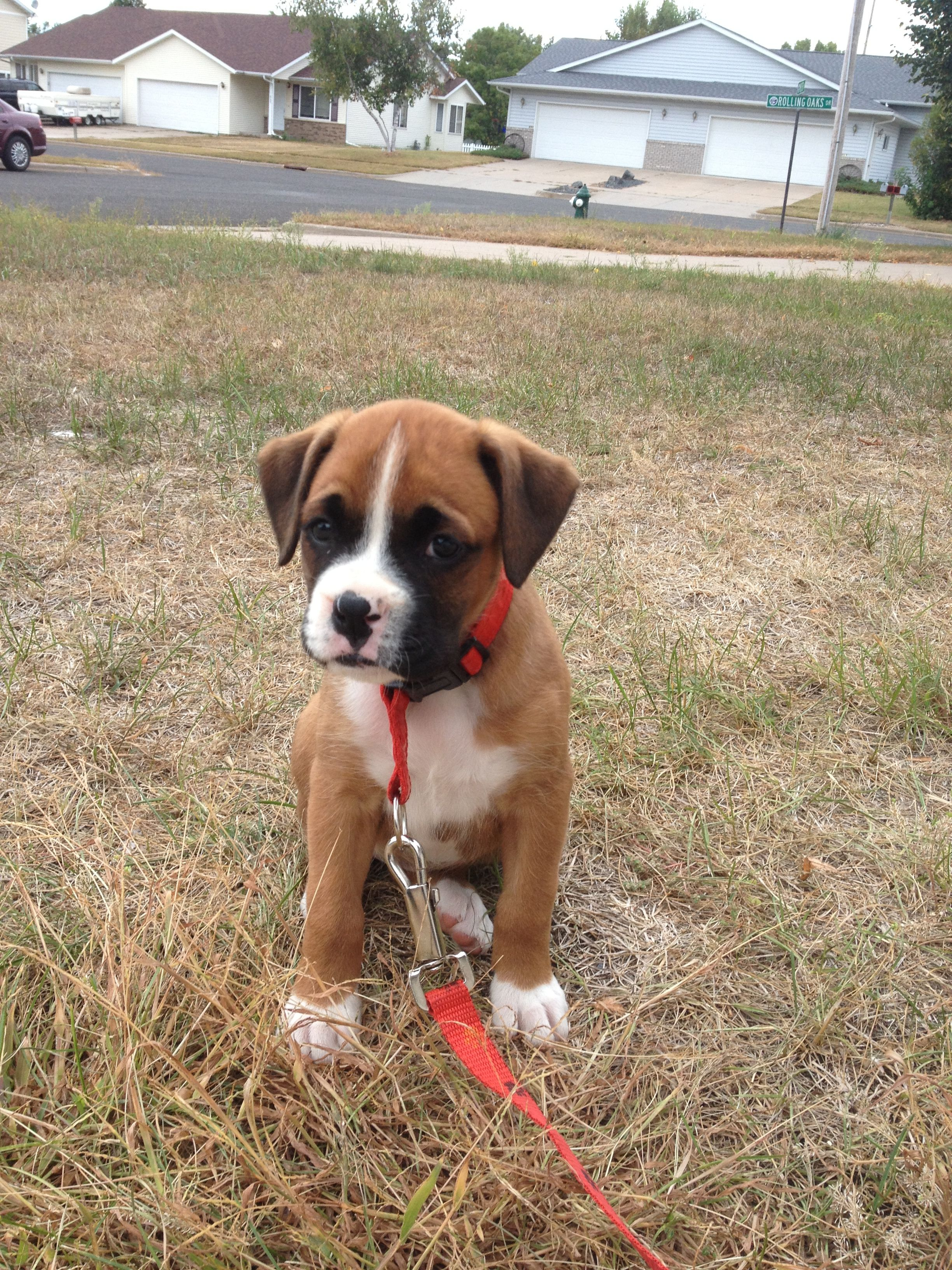 Boxer Puppy For Puppy Fridays From Underdog Rescue Of Arizona Boxer Puppies Boxer Dogs Boxer Dog Quotes