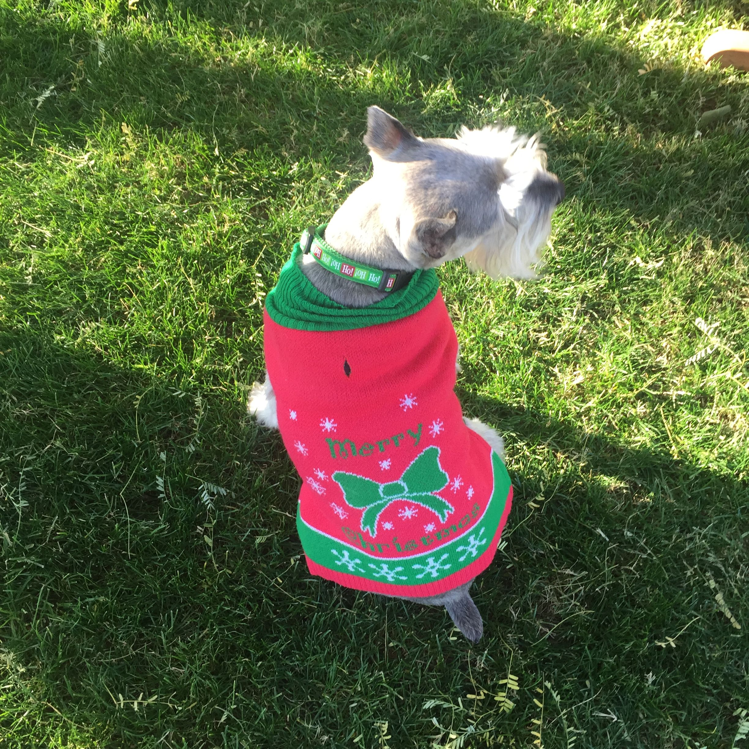 Pin by Laura Berrie on Not Just Any Schnauzer Mini