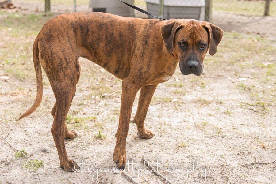 SAVANNAH is a 1 year old Boxer/Rhodesian Ridgeback mix that was picked up running at large in the community. She is located at Wakulla County Animal Control in Crawfordville, FL. If not reclaimed by owner, SAVANNAH will be available for rescue or adoption on 1/28/14. To rescue or adopt, please email cauzicanfl@gmail.com