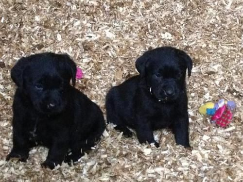 Kc Registered Labrador Puppies Male 0 8 Weeks Black Gorgeous Puppies Orpington For Sale In Kent South East Dogs Puppies Lab Puppies Labrador Puppy