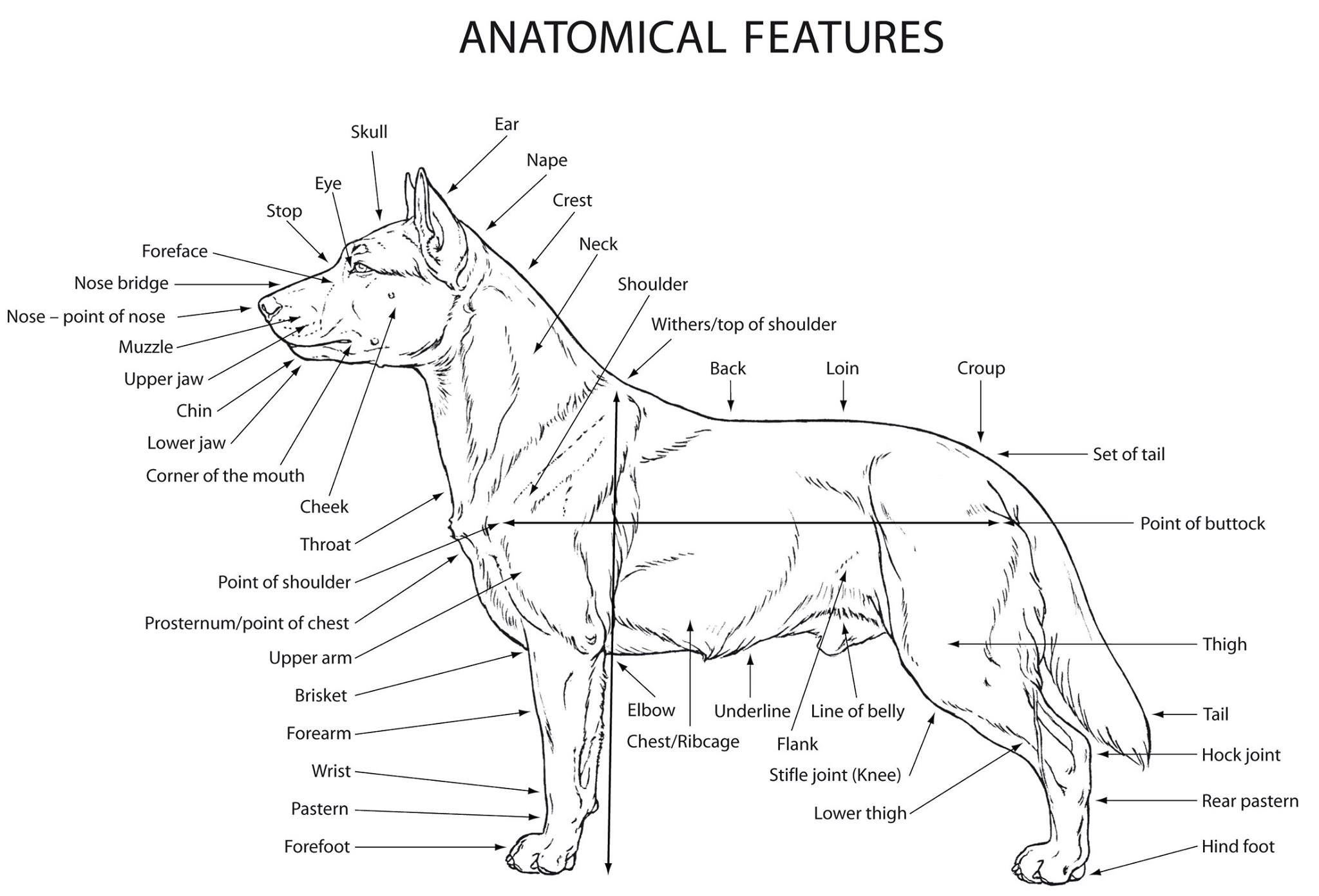 Luxury Dog Joints Anatomy Picture Collection - Physiology Of Human ...