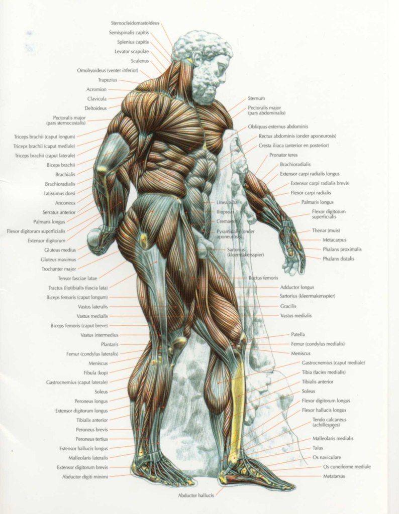 aJLrqAbL1qc.jpg (794×1024) | Anatomy: body | Pinterest | Anatomy