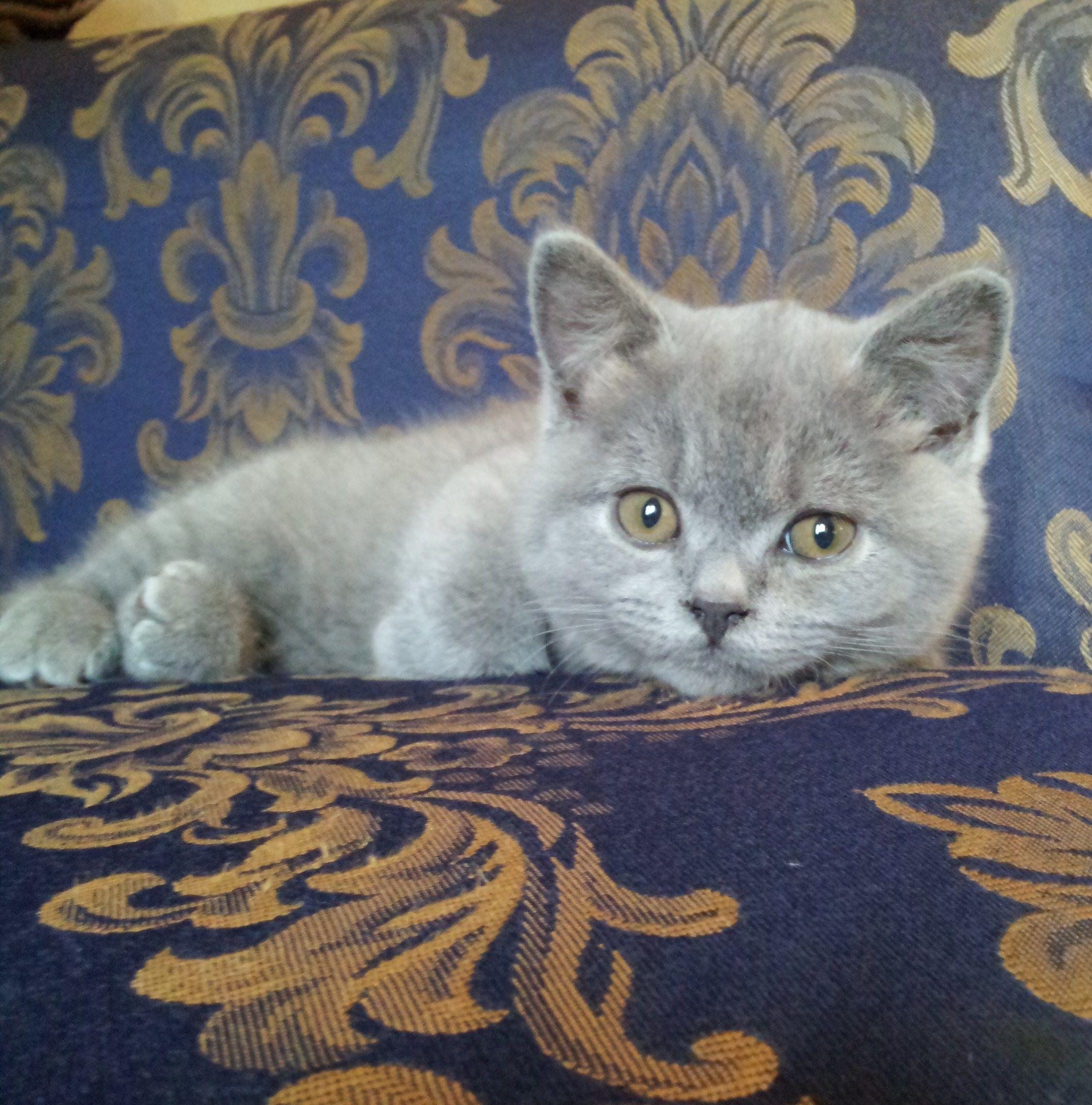 Kitten British Blue Kitten 13 Weeks Grey Kitten British Blue Kitten Grey Cats