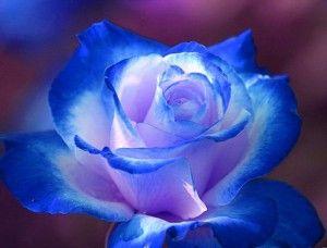 Bunga Mawar Biru Mawar Biru Gambar Bunga Bunga Cantik