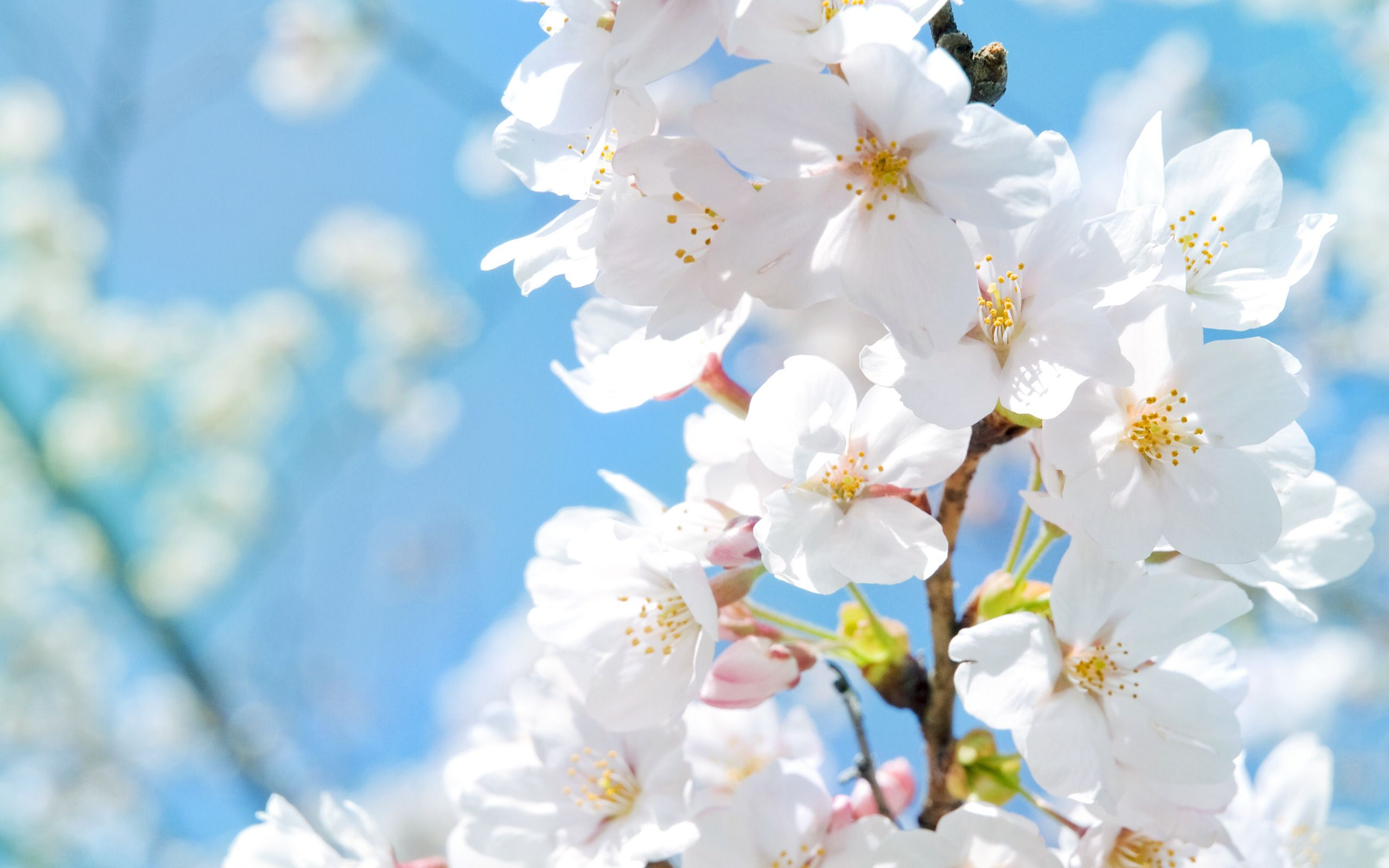 White flowers images hd bestpicture1 white flowers wallpaper for pc full hd pictures mightylinksfo