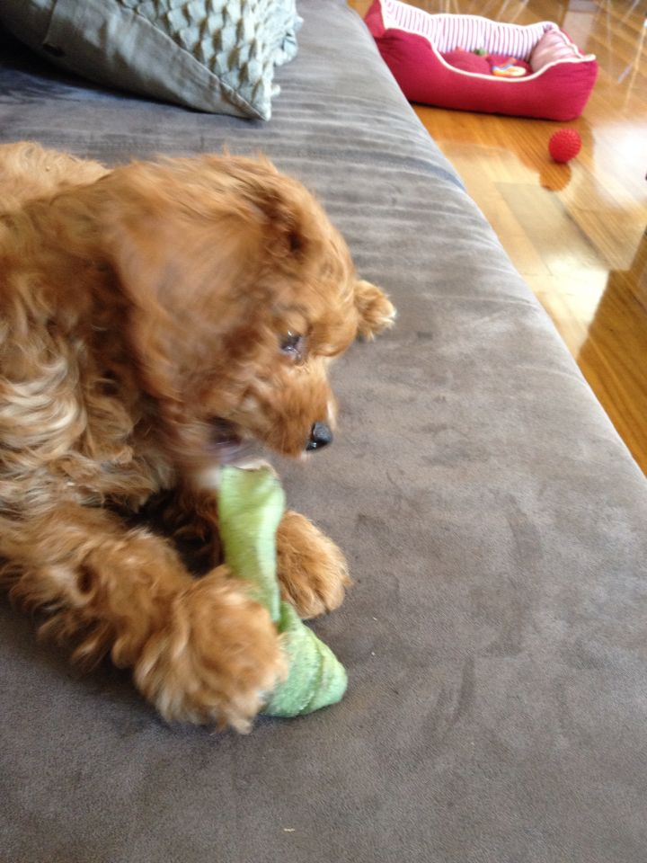 cavoodle what a cute puppy! Cute puppies, Puppies, Animals
