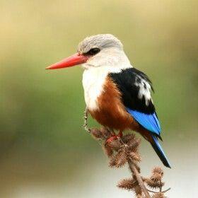 Grey-headed Kingfisher~
