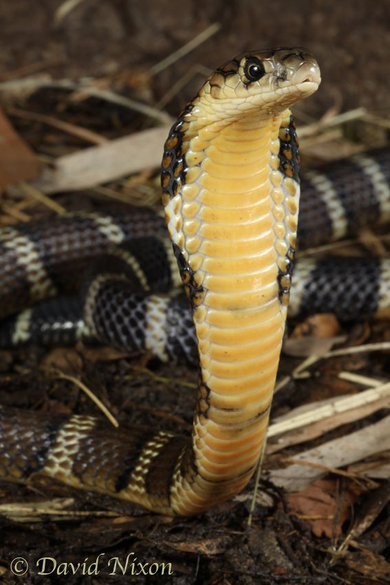 Ophiophagus Hannah Chinese Banded King Cobra With Images